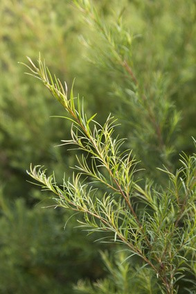 Tea Tree (Melaleuca Alternifola)- eterisk olje økologisk10 ml